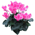 Flower Cyclamen sticker