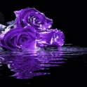 Purple Roses Live Wallpaper
