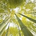 Bamboo живые обои