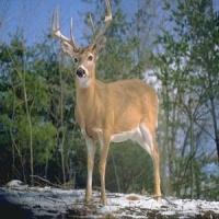 HD Deer Wallpapers