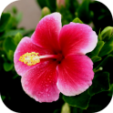 HibiscusBG Hibiscus Flowers