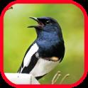 Master Suara Burung Terbaru