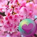 Bela Cherry Blossoms Wallpaper