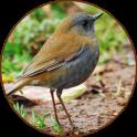 Nightingale oiseaux Sounds