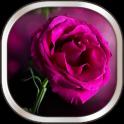 गुलाबी लाइव वॉलपेपर गुलाब