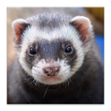 Ferrets Great Funny Home Pets