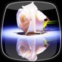 Weiße Rose Live Hintergrund