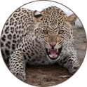 Sons Leopard