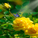 Yellow Rose Butterfly LWP