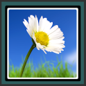 Live Wallpapers – Daisy