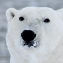 Oso polar lwp
