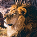moving lion wallpapers