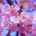 Flor de cerezo lwp