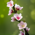 Blooming Trees Live Wallpaper