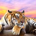 Tiger Live Wallpaper Wild Animal Background