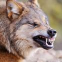 Talking Wolf