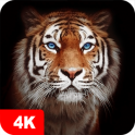 Tiger Wallpapers 4K