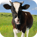 Cow Sounds