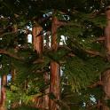 Redwoods 3D Live Wallpaper