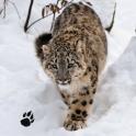 Snow Leopard Chase Simulator