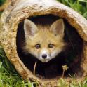Best Fox Wallpapers