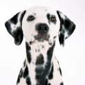 Dalmatian Dogs Wallpapers