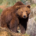Bear Forest Themes