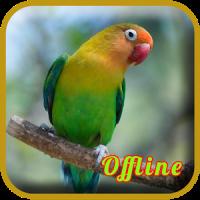 Lovebird Ngekek Durasi Panjang MP3
