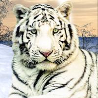 Wild White Tiger
